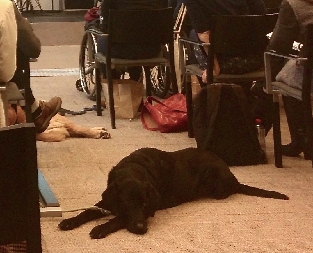 Two sleeping guiding dogs, and two people in a wheelchair in the audience of a conference.