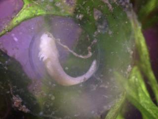 Axolotlembryo